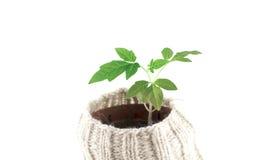 Planta de tomate hermosa Fotos de archivo libres de regalías