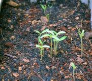 Planta de tomate joven Fotografía de archivo