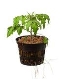 Planta de tomate nova foto de stock