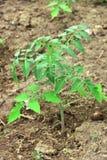 Planta de tomate nova Tomate crescente no jardim Fotografia de Stock Royalty Free