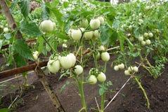 Planta de tomate que come frutos verdes novos Imagens de Stock