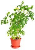 Planta de tomate que crece en un crisol de flor Fotos de archivo libres de regalías