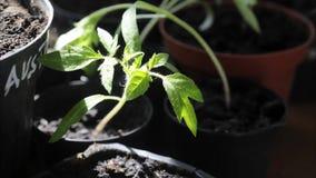 Planta de tomate que cresce em um lapso de tempo do vaso video estoque