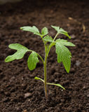 Planta de tomate verde Imagens de Stock Royalty Free