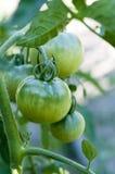 Planta de tomate verde Imágenes de archivo libres de regalías
