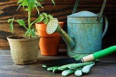 Planta de tomate y herramientas de jardín Imagen de archivo libre de regalías