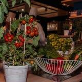 Planta de tomates no vaso branco dentro do restaurante com cozinheiro chefe Fotografia de Stock