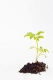 Planta de Tomatoe Foto de archivo