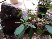 Planta de Tulsi Fotos de archivo