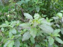 Planta de Tulsi imagen de archivo