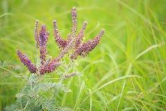 Planta de ventaja (canescens Pursh de Amorpha) Imagen de archivo libre de regalías