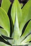 Planta de Vera del áloe Fotografía de archivo libre de regalías