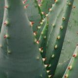 A planta de Vera do aloés com pontos vermelhos brilhantes fecha-se acima fotografia de stock royalty free