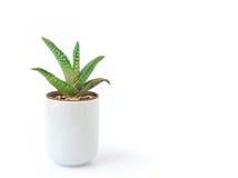 Planta de vera do aloés do close up no potenciômetro no fundo branco fotografia de stock royalty free