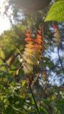 Planta de vid exótica de amor Foto de archivo
