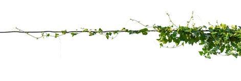 Planta de videira isolada no fundo branco Trajeto de grampeamento foto de stock royalty free