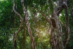 Planta de vides sucia torcida de la selva de la liana salvaje con el liquen en borrachín fotografía de archivo