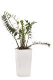 Planta de ZZ em um vaso de flores cerâmico branco Imagem de Stock Royalty Free