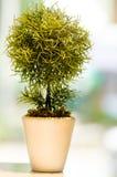 Planta decorativa Imagen de archivo libre de regalías