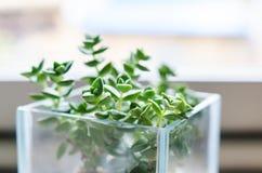 Planta decorativa azulada del Crassula en un pote de cristal imágenes de archivo libres de regalías