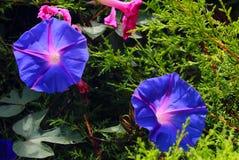 Planta decorativa com as flores azuis no parque de bryant, kodaikanal fotos de stock royalty free