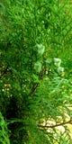 Planta decorativa con imagen verde de la fruta imágenes de archivo libres de regalías