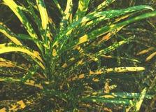 Planta decorativa con las hojas hermosas - enano de la casa del punto de Pictum del Croton fotos de archivo