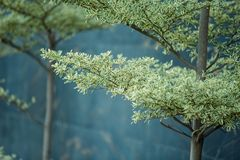 Planta decorativa da árvore verde imagens de stock royalty free