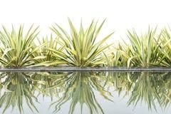 Planta decorativa del agavo verde por otra parte de la charca de agua en blanco Foto de archivo libre de regalías