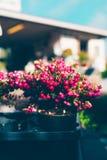 A planta decorativa do Natal chamou a charneca espinhosa Foto de Stock