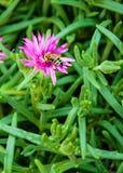 Planta decorativa hermosa con una flor rosada y una abeja Fotos de archivo libres de regalías