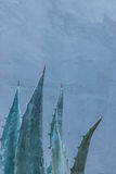 Planta del áloe con el fondo azul Fotografía de archivo libre de regalías