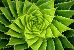 Planta del áloe del espiral del verde vivo imagenes de archivo