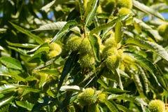 Planta del árbol de castaña que muestra la fruta verde con el cupule espinoso agudo, imagen de archivo