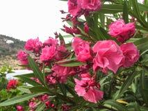 Planta del adelfa del Nerium con las flores rosadas imagen de archivo