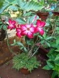 Planta del Adenium Fotos de archivo