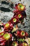 Planta del Aeonium Fotografía de archivo libre de regalías