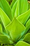 Planta del agavo Imagen de archivo