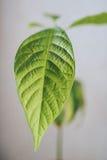 Planta del aguacate Foto de archivo libre de regalías