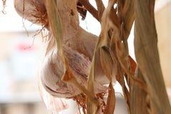 Planta del ajo fresca fotografía de archivo libre de regalías