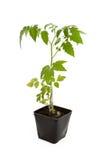 Planta del almácigo del tomate Foto de archivo libre de regalías