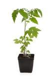Planta del almácigo del tomate Fotos de archivo