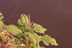 Planta del amaranto, mala hierba en cosecha de la altiplanicie imagen de archivo libre de regalías