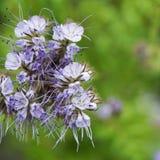 Planta del amigo de la abeja Fotografía de archivo libre de regalías