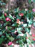 Planta del Anthurium fotografía de archivo libre de regalías
