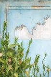 Planta del arrastramiento con la pared azul clara imagen de archivo