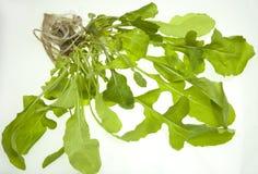 Planta del Arugula (Eruca sativa) Fotografía de archivo