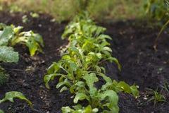 Planta del Arugula que crece de suelo Imagen de archivo