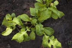 Planta del Arugula que crece de suelo Imagen de archivo libre de regalías