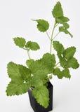 Planta del bálsamo de limón Foto de archivo